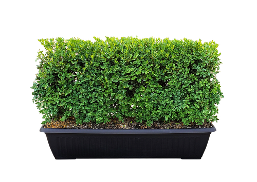 Green Mountain Boxwood is a favorite of landscapers and gardeners all over the US. It has impressive cold-hardiness and resistance to deer and rabbits. It is evergreen with very little winter bronzing compared to most boxwoods. It has a moderately slow growth rate with an oval habit, making it perfect for growing as a hedge. It responds very well to pruning and tolerates a wide range of growing conditions.