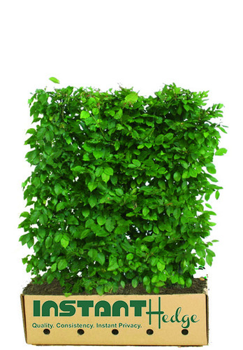 European Hornbeam is a favorite hedge choice in the US and Europe. It is easy to grow and responds well to pruning into a hedge. It is deciduous but will sometimes hold its winter leaves for an extended period for extra screening. It adds beautiful texture to the landscape. It is a great choice for areas with heavy, poorly-draining soil. It is also shade tolerant.