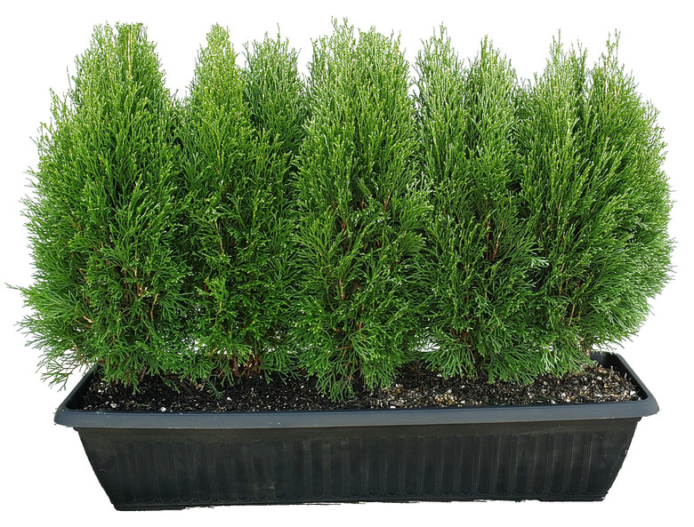 """Little Simon is a dwarf selection of Emerald Green Arborvitae. It boasts lovely year-round green color, dense growth, and a small size when mature. It grows about 3"""" per year and is easy to maintain. Little Simon is a good replacement for low boxwood hedges that have been infected with Boxwood Blight."""