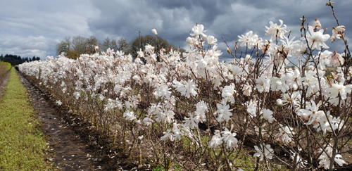 Royal Star Magnolia is a stunning flowering hedge with fragrant, double flowers in spring and lush green foliage in summer and yellow fall color. It is hardy to USDA Zone 5 and is very easy to grow.