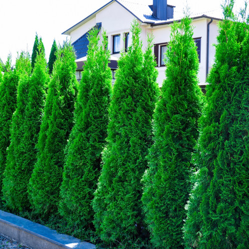 Row of Emerald Green Arborvitae planted in a suburban landscape.  These trees are 6-8 years old.  Rich Emerald green in color, beautifully thick.  Incredibly hardy.