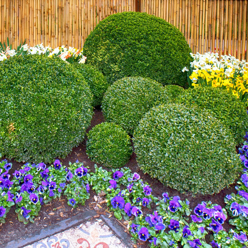 Green Mountain Boxwood pruned into spheres planted next to a modern patio.  Resistant to deer and rabbits and incredibly shape-able, boxwood are a worry free plant.