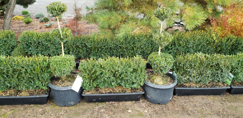 This package is all you need to start your dream garden! With 16 Boxwood MiniHedge™ units and 2 premium boxwood topiary plants, you are ready to install the essential first stages of a stunning cottage, vegetable, formal, or knot garden or border. With multiple configurations, you can customize it to fit the needs of your space and design.