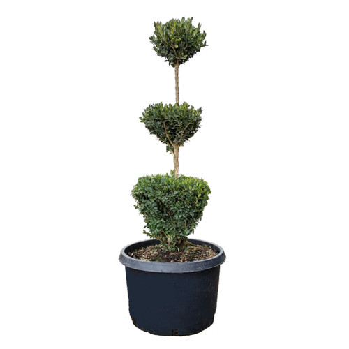 Buxus 'Green Mountain' Topiary