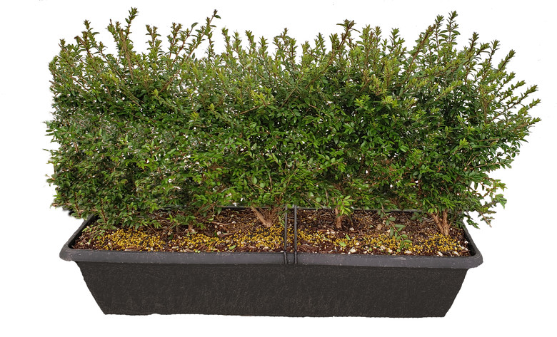 Box Honeysuckle MiniHedge is a great boxwood hedge substitute
