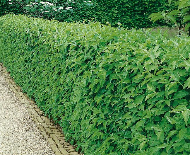 Cornus mas makes a lush green hedge in the summer months