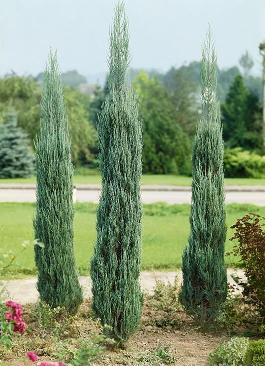 Skyrocket Juniper has beautiful, blue-green foliage