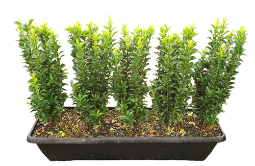 The Green Spire Euonymus MiniHedge gives you a low, finished hedge in just 1 day