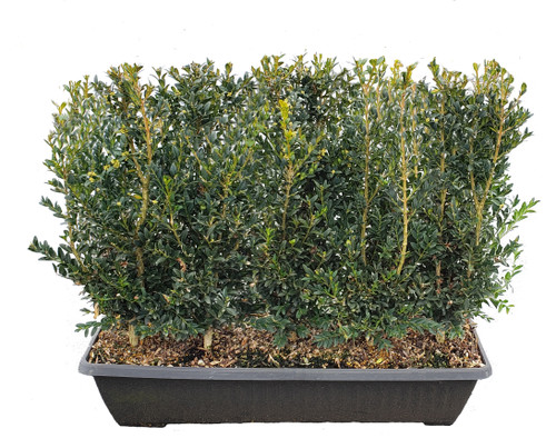 Schmidt Boxwood MiniHedges are a great way to plant a finished hedge in 1 day
