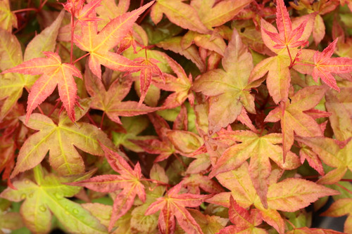 Low, mounding shrub-like habit and bright red spring color on the small leaves of this dwarf Japanese maple make it an excellent choice for bonsai or for small garden.