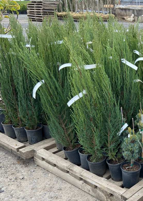 This narrow, upright selection has rope-like ascending foliage that has a blue-green foliage. Akin to the Italian cypress but much hardier! An excellent choice for a formal landscape vertical accent or screen.