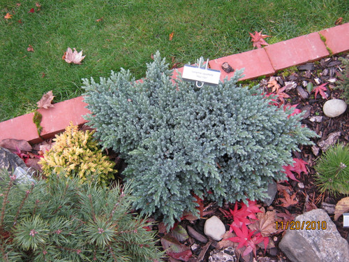 A popular, slow-growing juniper for landscapes. Star-like foliage and brilliant blue color characterize the small shrub.