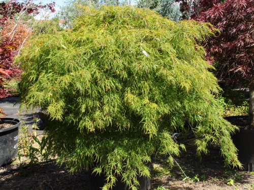 Dissectum. The original and archetypal green laceleaf. Leaves are bright green, and can either burn or get orange highlights in full sun. Fall color is gold and yellow. Cultivars such as 'Waterfall' and 'Otto's Dissectum' have replaced 'Viridis.'