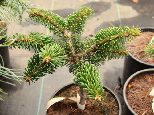 This fir is fairly dense and somewhat upright-growing. Found as a witch's broom by Volodomyr Ukhach in New York. Quite stiff, silver and green needles are very ornamental.
