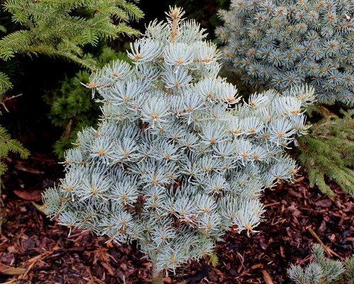 Rich, bright blue foliage on this globose fir gives it a lovely coloration year-round. Found as a witch's broom by Tomas Kubat of the Czech Republic in a brickyard.