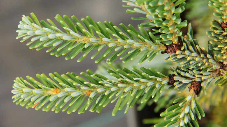 A slow, growing green Korean fir that has spreading branches with no central leader. This globe shaped conifer is great for rock gardens, containers, and small areas.