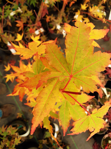 Golden twigs in the winter cause this maple to be stunning in all seasons. Near the tips of newer twigs, a reddish orange color is also prominent!