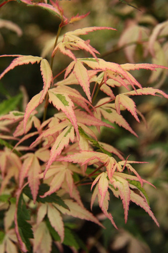 Variegation on this narrow, upright Japanese maple is a stunning mix of white and pink. The coloration is similar to Kotobuki and Orido nishiki but even more prolific!