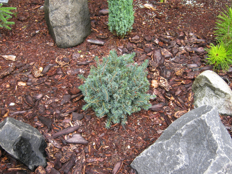 Short, blue-green needles and a low, mounding habit make this a great choice for a groundcover or somewhere a low, evergreen shrub with soft texture is desired. Very hardy!
