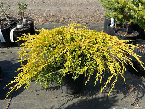 This fairly low-growing juniper has bright golden-yellow color and a sprawling/mounding habit. Can take full sun without significant sunburn but also somewhat shade tolerant.