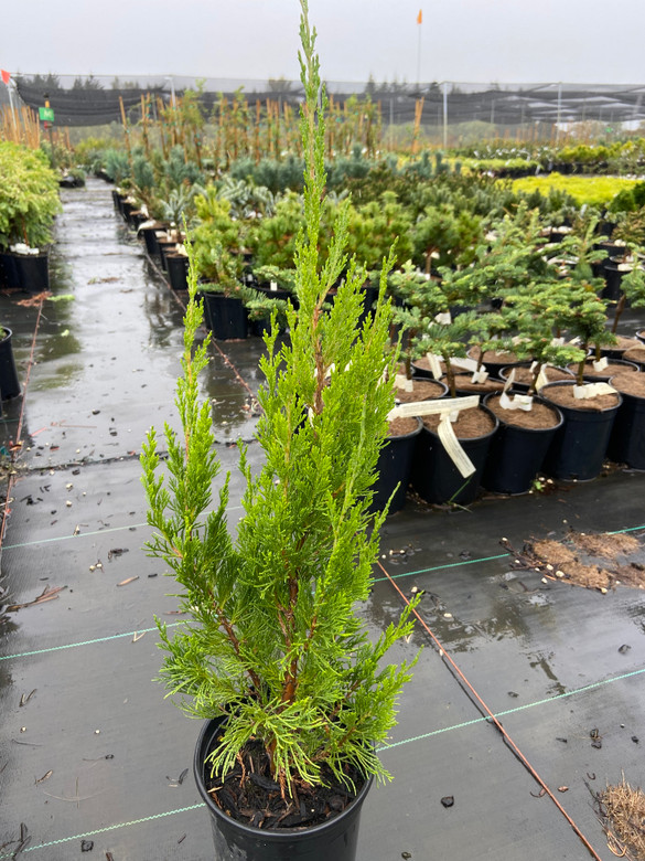 Spartan juniper grows as a stately column of coarse-textured foliage. Great for screening or where a columnar plant is desired.