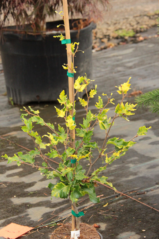 This fairly upright variety has light green leaves that are yellow in full sun.