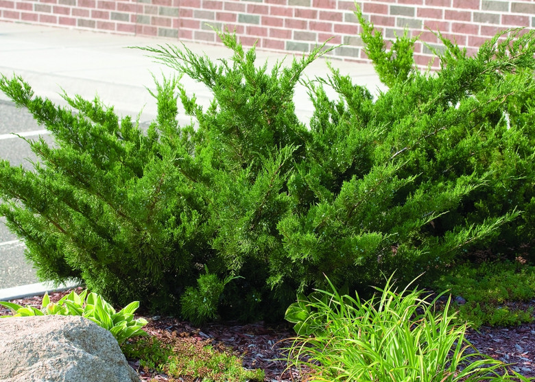A popular, ground-covering juniper that is remarkably drought-tolerant and vigorous. A great evergreen for ground cover use and multiple plantings.