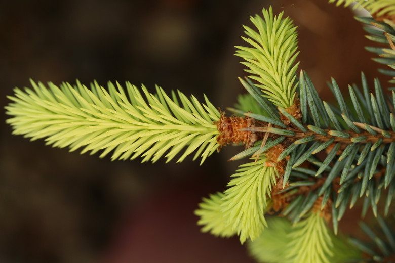 A spruce with beautiful bright gold new growth in spring. Found as a branch mutation by Krzysztof Wolski in Poland.