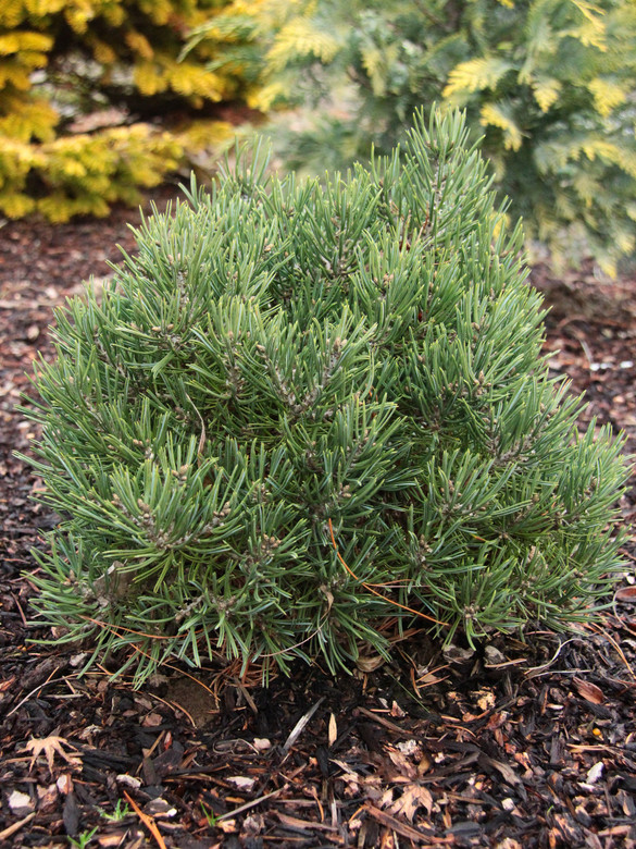 This slow-growing pine was found as a witch's broom seedling by Dennis Hermsen. It has a light, blue-green color and a dense form with thick pointed needles.