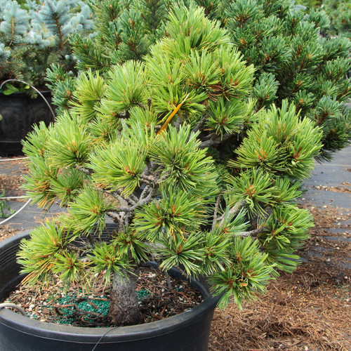 "A dwarf squatty globose form with greenish-blue needles that are 2"" long. A nice dwarf form of limber pine found by Jerry Morris."