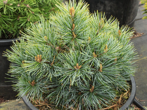 This miniature to dwarf pine has beautiful soft, silver-blue foliage. Found as a witch's broom.