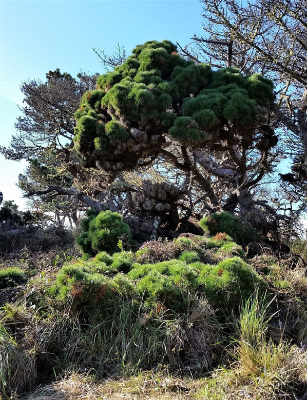 This densely branched, clumpy pine has dark green needles. It is the only known cultivar of Pinus muricata and was found at Salt Point in California as a naturally dwarf tree.