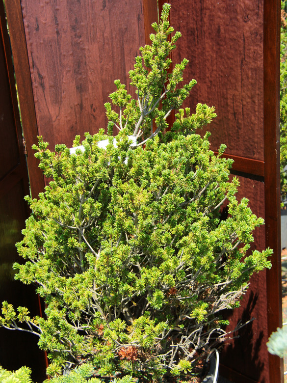 A shrub form with small bluish-green needles. As it grows out of its shrub form, it becomes an informal upright.