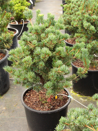 A compact pine with short green needles that are widely spaced. Named for Kobe Arboretum in Toyko, Japan.