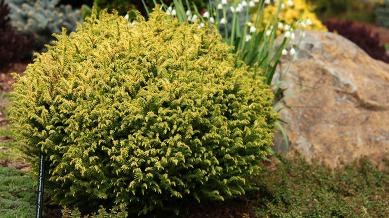This perfectly globe-shaped conifer sports light green foliage tipped in bright butter-yellow. Fairly sun tolerant despite its light coloration!
