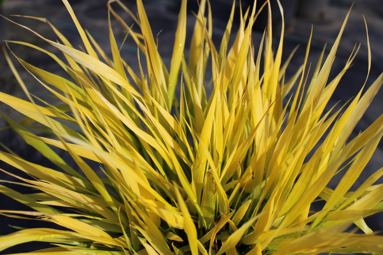 A round, mounded Japanese Forest grass with yellow leaf blades that fade to crimson at the ends.