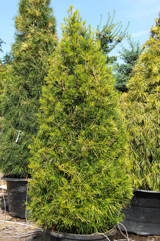 A fairly narrow Sciadopitys that doesn't turn brownish or off-color in the winter like most umbrella pines. An exceptional variety that is quite popular.