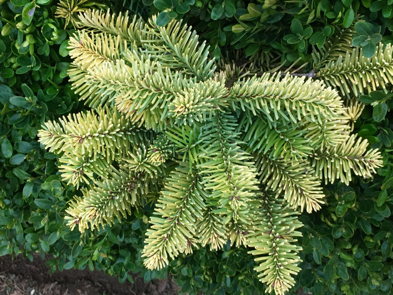 This golden-yellow noble fir was found in a Christmas tree field by Sam Pratt. We have yet to see if its low, spreading growth habit will remain, but its winter-gold color is truly spectacular.