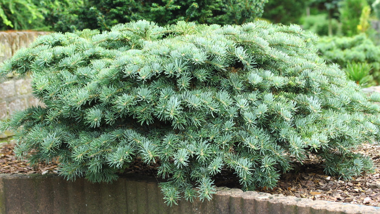Spreading, irregularly-spaced branches bear twisted, curved bright blue-green needles. The fascinating texture and beautiful color make this slow-growing conifer an excellent plant for collectors or those limited on garden space.