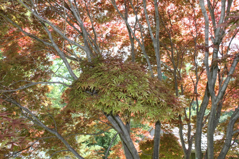 A slower-growing version of the Bloodgood Japanese maple, sharing the same deep red leaf color but perhaps a bit more of a compact habit and a rounded canopy.