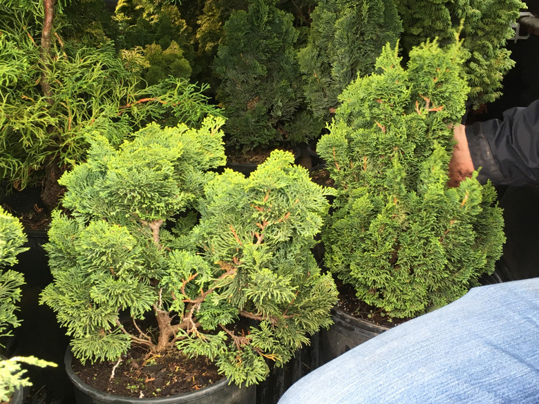 Dramatic form on this upright hinoki cypress is characterized by dark green foliage and swirling branches. One of the most unique Hinoki cypress