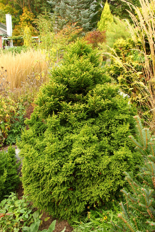 Fairly thick, congested foliage gives this variety a different appearance than most of the dwarf cultivars. Eventually forming a narrow but dense pyramid with rich yellow-green color.