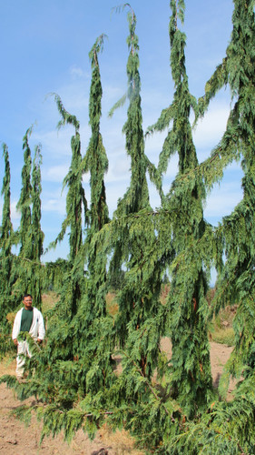 Green Arrow is a evergreen conifer that grows upright/columnar with weeping branches. Its green limbs are reasonably fast growing, but is an overall attractive tree to add to the landscape.
