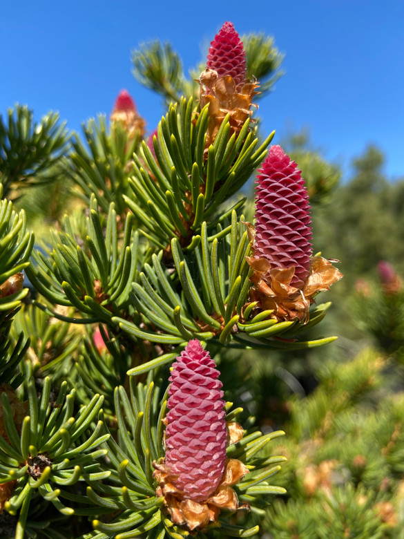 A very dense narrowly pyramidal spruce with dark green color and thick, rigid needles. Produces large cones that emerge magenta-colored in the spring!