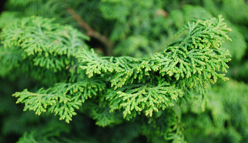 Compact, light-green foliage is arranged in a swirled but uniform pattern on this dwarf, very slow-growing tree.