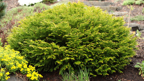 A dwarf, low mounding conifer with distinctly-textured, scale-like foliage of a light green color. Naturally dense and rather rounded in habit.