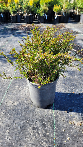 This compact, low spreading dwarf ground cover is a great plant to have. It helps with erosion control and is resistant to deer.