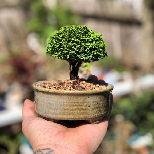 A miniature variety with dense, green foliage and a rounded, globose habit and a tendency to become more pyramidal as it ages.