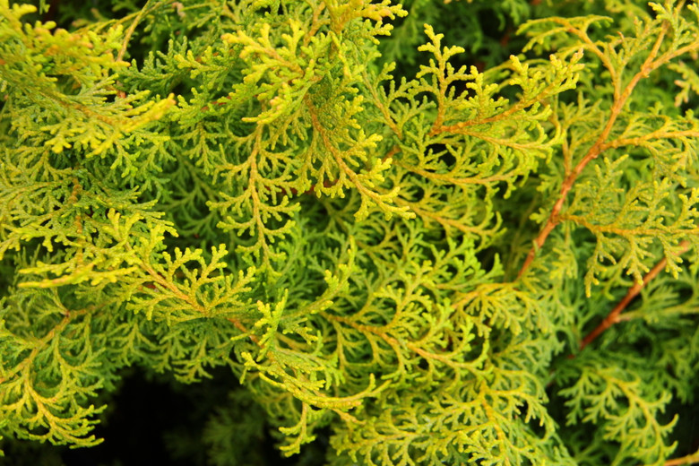 This slender, pyramidal Hinoki has bright yellow foliage in sun and vibrant lime green in shade. Similar in coloration to 'Melody'.
