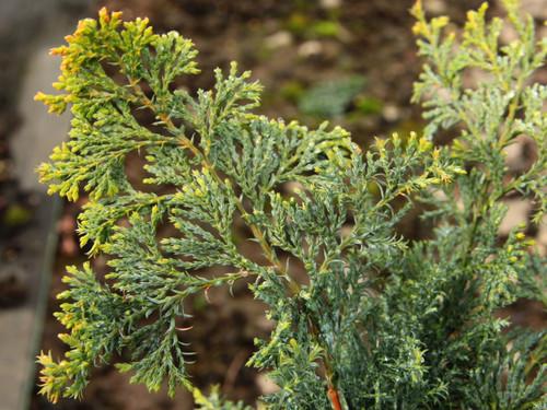 Chamaecyparis obtusa 'Splitrock' _Splitrock Hinoki Cypress_